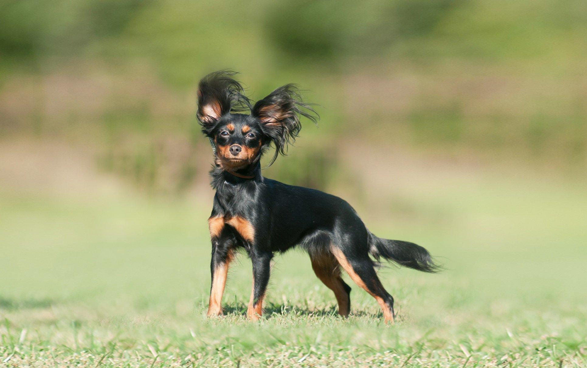 Топ-3 самых маленьких пород собак в мире