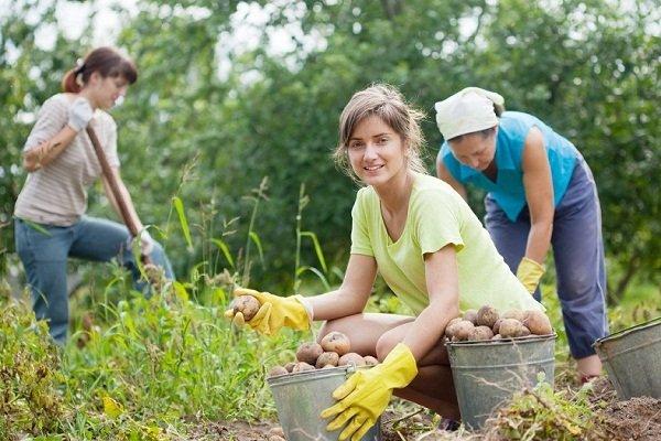 Когда нужно копать картошку: украинцам дали совет