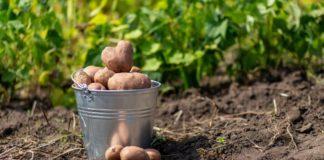 Когда нужно копать картошку: украинцам дали совет  - today.ua