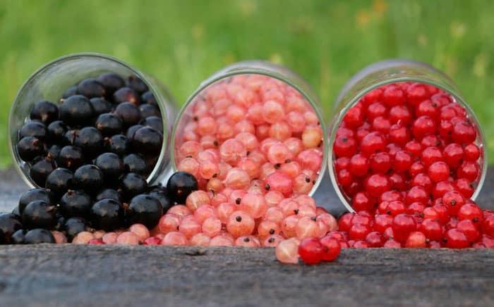 У чому користь білої, чорної і червоної смородини: унікальні властивості ягоди від усіх недуг - today.ua