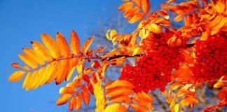 """Праздник 23 сентября: в день памяти Петра и Павла украшали окна гроздьями рябины"""" - today.ua"""