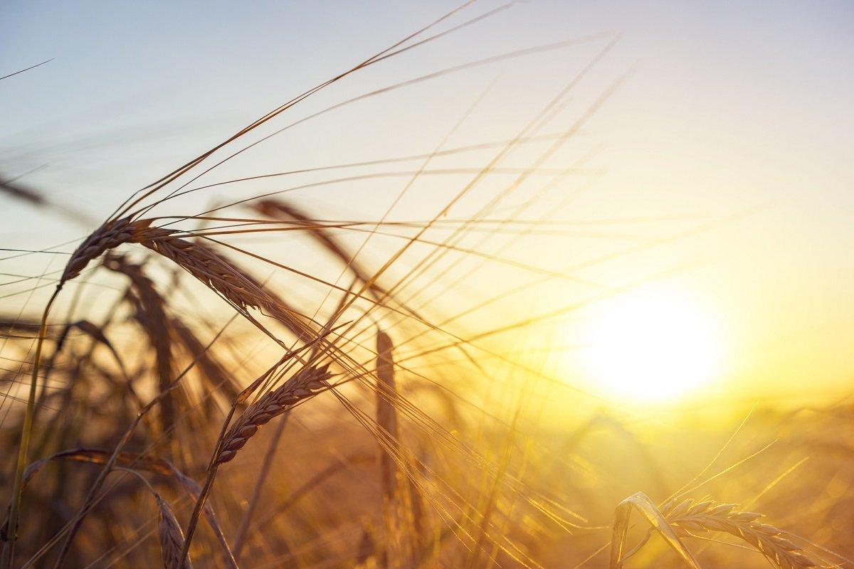 Праздник 10 сентября: для чего на Анну Пророчицу прятали в домах пшеничные колоски