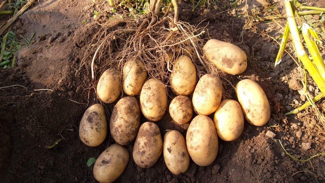 В Україні подешевшала картопля: експерти розповіли про вартість овоча взимку