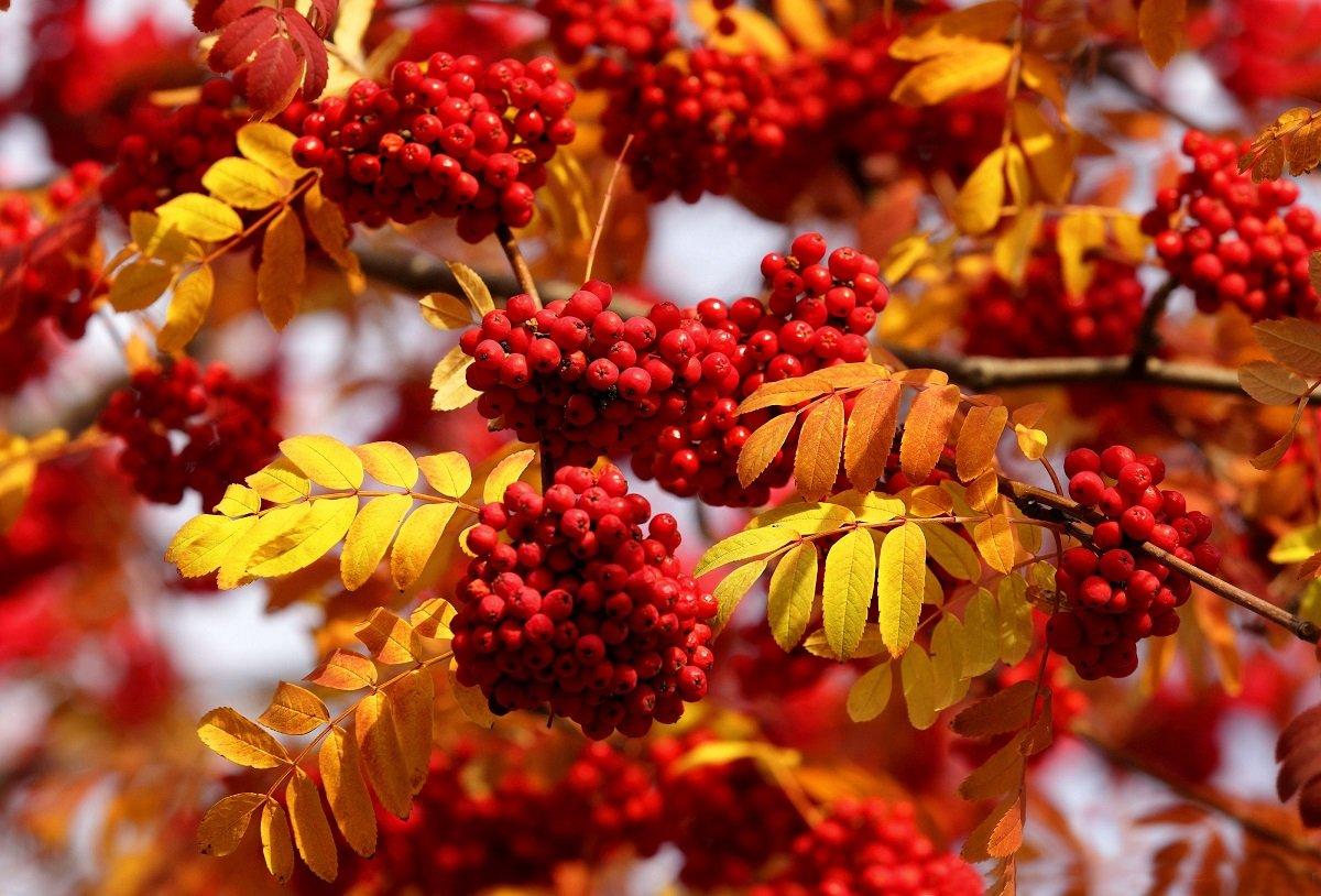 Праздник 23 сентября: в день памяти Петра и Павла украшали окна гроздьями рябины
