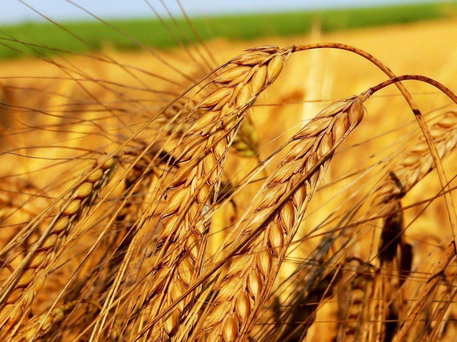 Праздник 10 сентября: для чего на Анну Пророчицу прятали в домах пшеничные колоски - today.ua