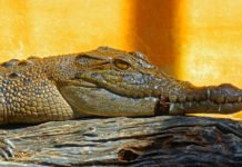 Українців годуватимуть м'ясом крокодилів: угода про поставки з ПАР вже на порядку денному - today.ua