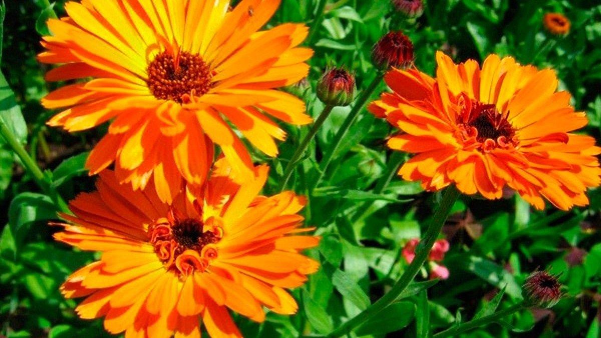 Четыре съедобных цветка, которые улучшат вкус блюд, укрепят иммунитет и избавят от болезней