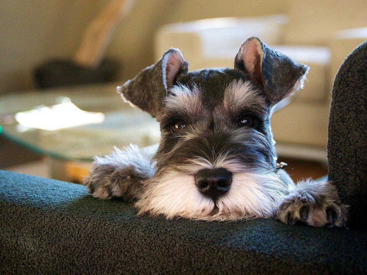 Три породы собак, которые не могут защитить хозяина: им самим страшно