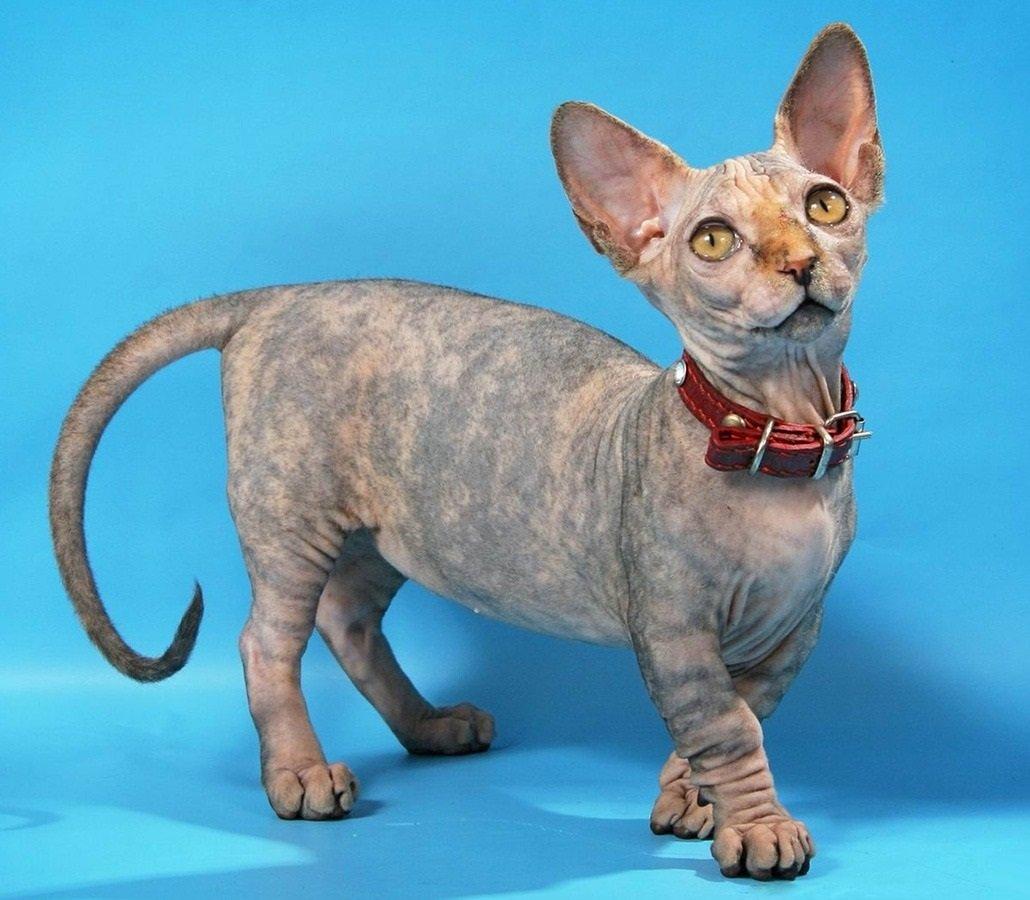 ТОП-3 найбільш «молодих» порід кішок: тварини, яких 10 років тому ще не існувало