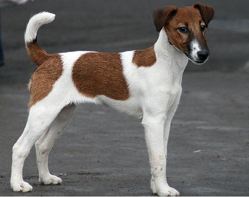 Три породи собак, які обожнюють часто і голосно гавкати без приводу