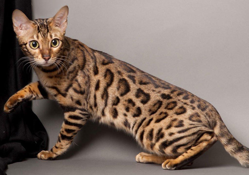 ТОП-3 породи кішок, з якими виникає багато проблем при вихованні