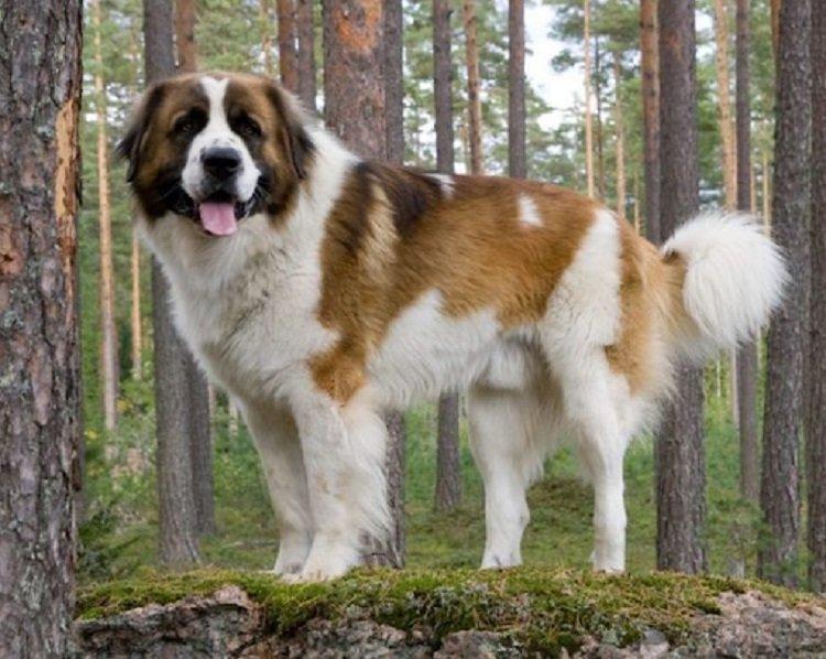 Три кращі сторожові породи собак, які підходять для охорони будинку або території