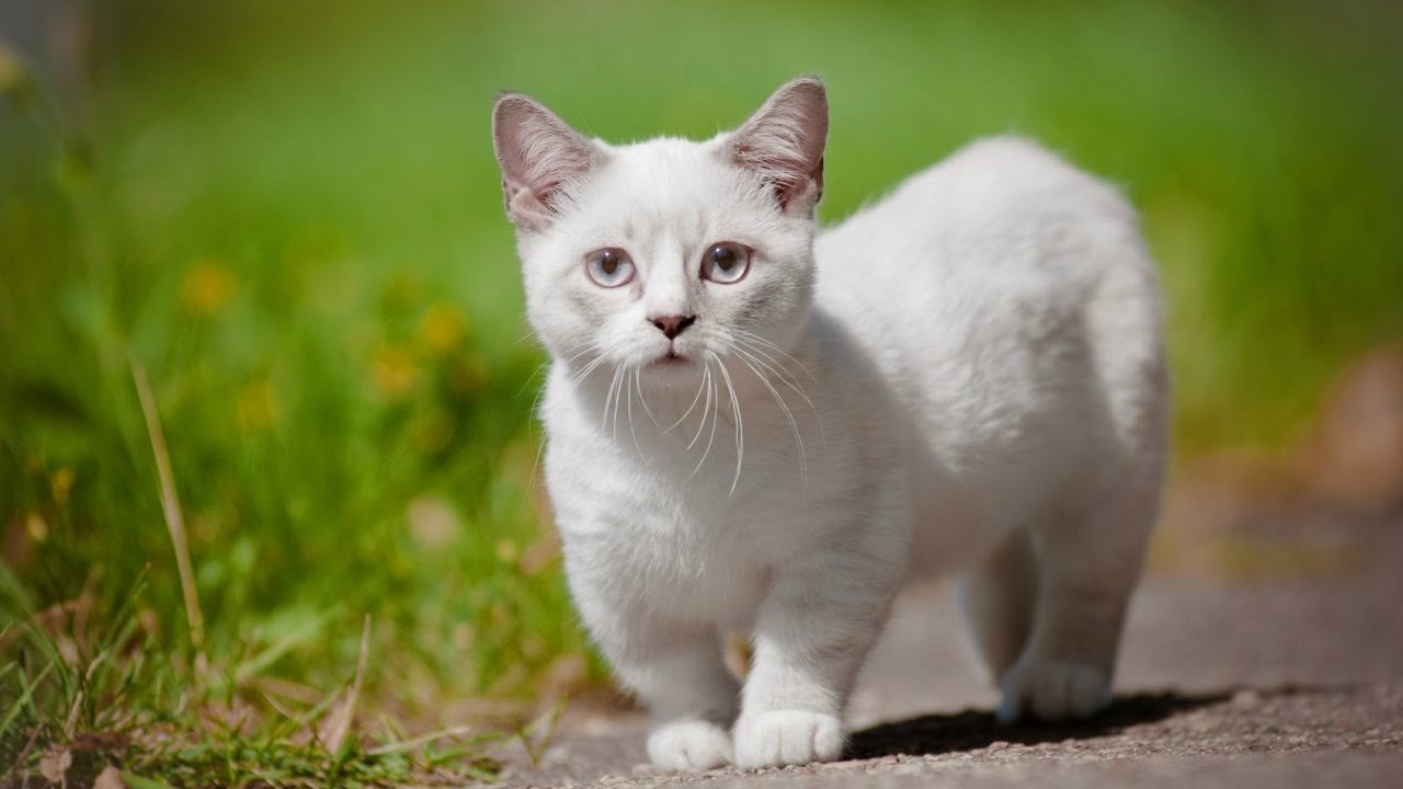 Найрозумніші кішки в світі: ТОП-3 породи, які легко піддаються дресируванню