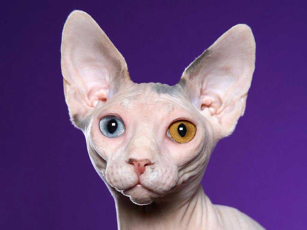 Гіпоалергенні кішки: ТОП-3 породи безпечних для алергіків домашніх вихованців