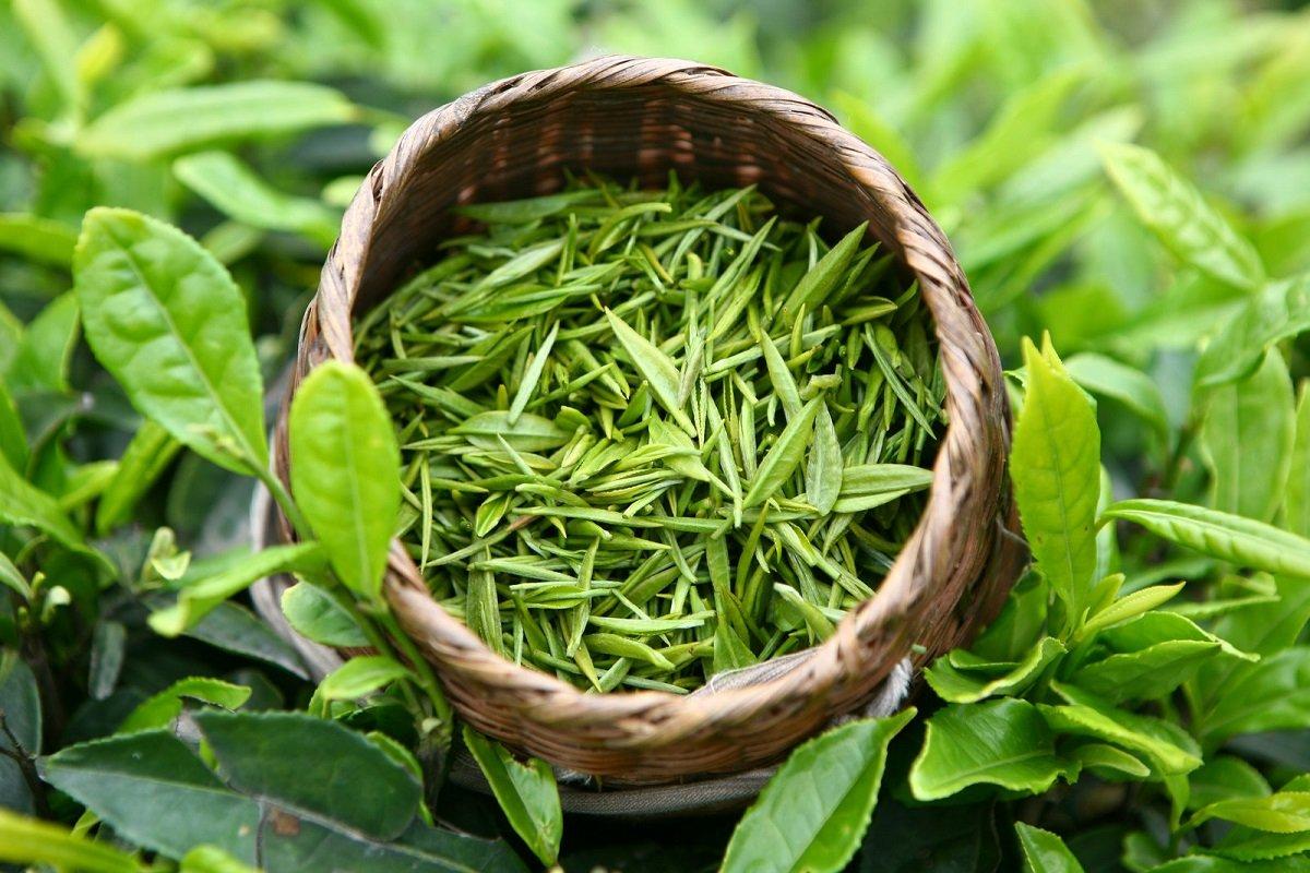 Як правильно пити зелений чай для очищення організму і здоров'я: поради китайського лікаря
