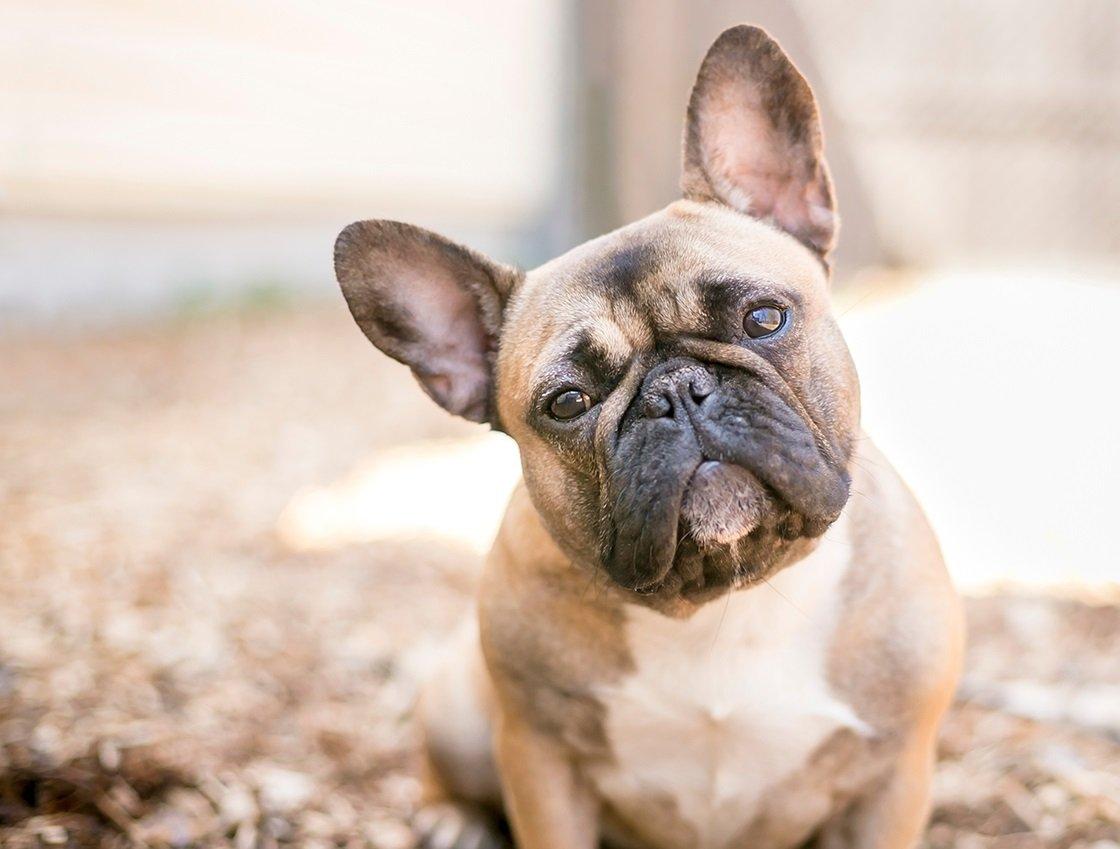 Топ-3 найдешевших порід собак для будинку