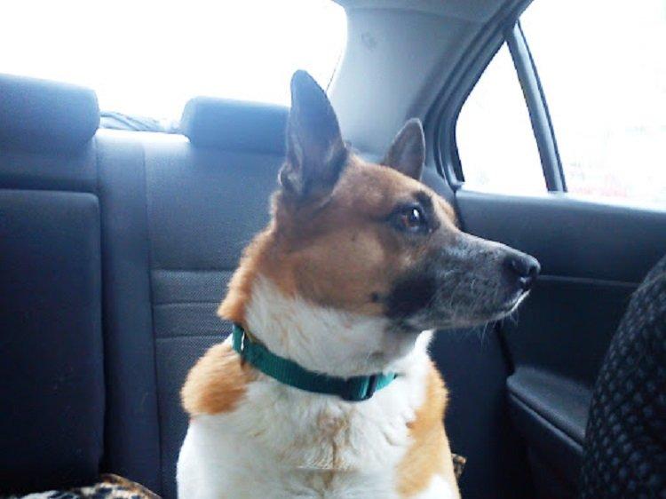 Собака пройшла 60 км, щоб повернутися додому: зворушлива історія зі щасливим кінцем
