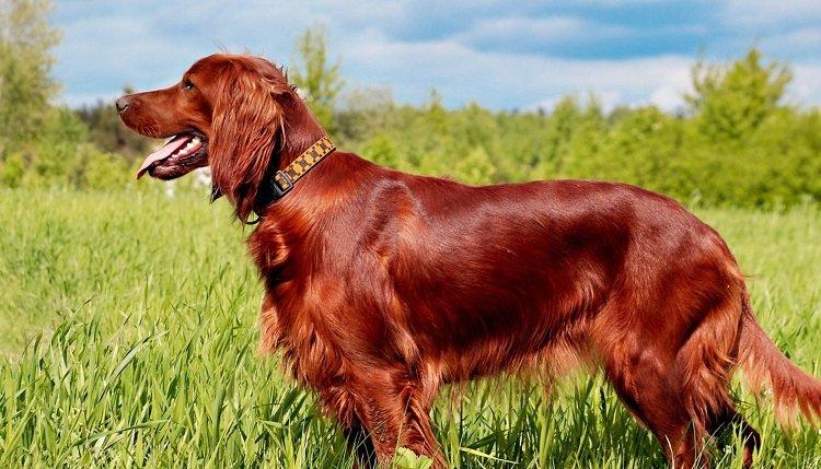Найдобріші і віддані собаки в світі: ТОП-3 породи ідеальних домашніх вихованців