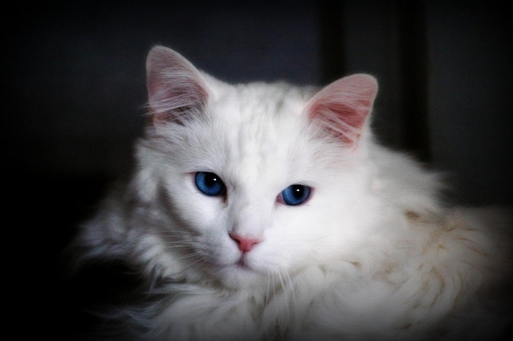Кошки с голубыми глазами – пять самых красивых пород