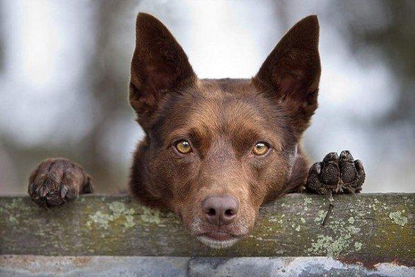 Рейтинг порід собак з найміцнішим здоров'ям: господарі забудуть про ветеринарів
