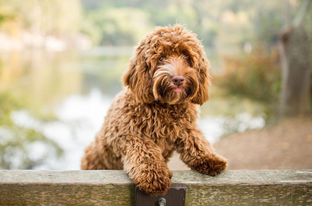 ТОП-5 порід собак, на яких найчастіше полюють злодії