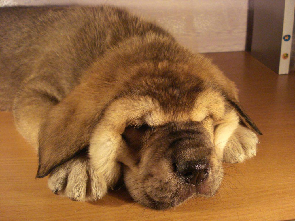 ТОП-3 породы собак, которые больше всего на свете любят спать