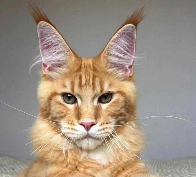 Кошеня з вулиці виявилося породистим вихованцем: історія порятунку кинутої тварини
