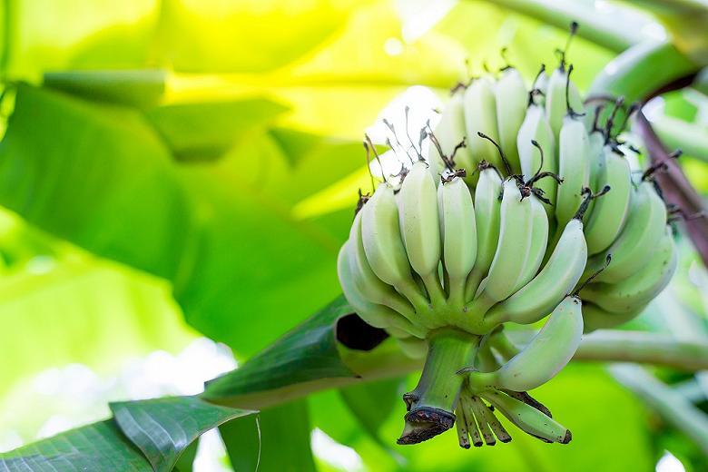 Из украинских магазинов могут исчезнуть бананы: самый популярный фрукт в мире находится в опасности