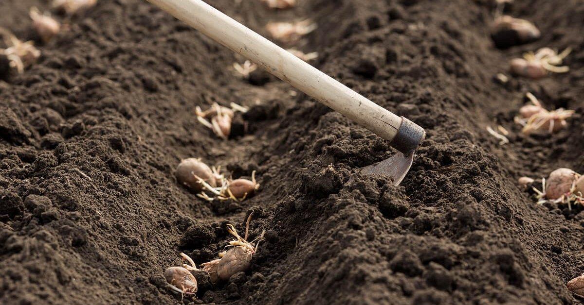 Картопля: коли садити, і як вберегти молоді паростки від приморозків