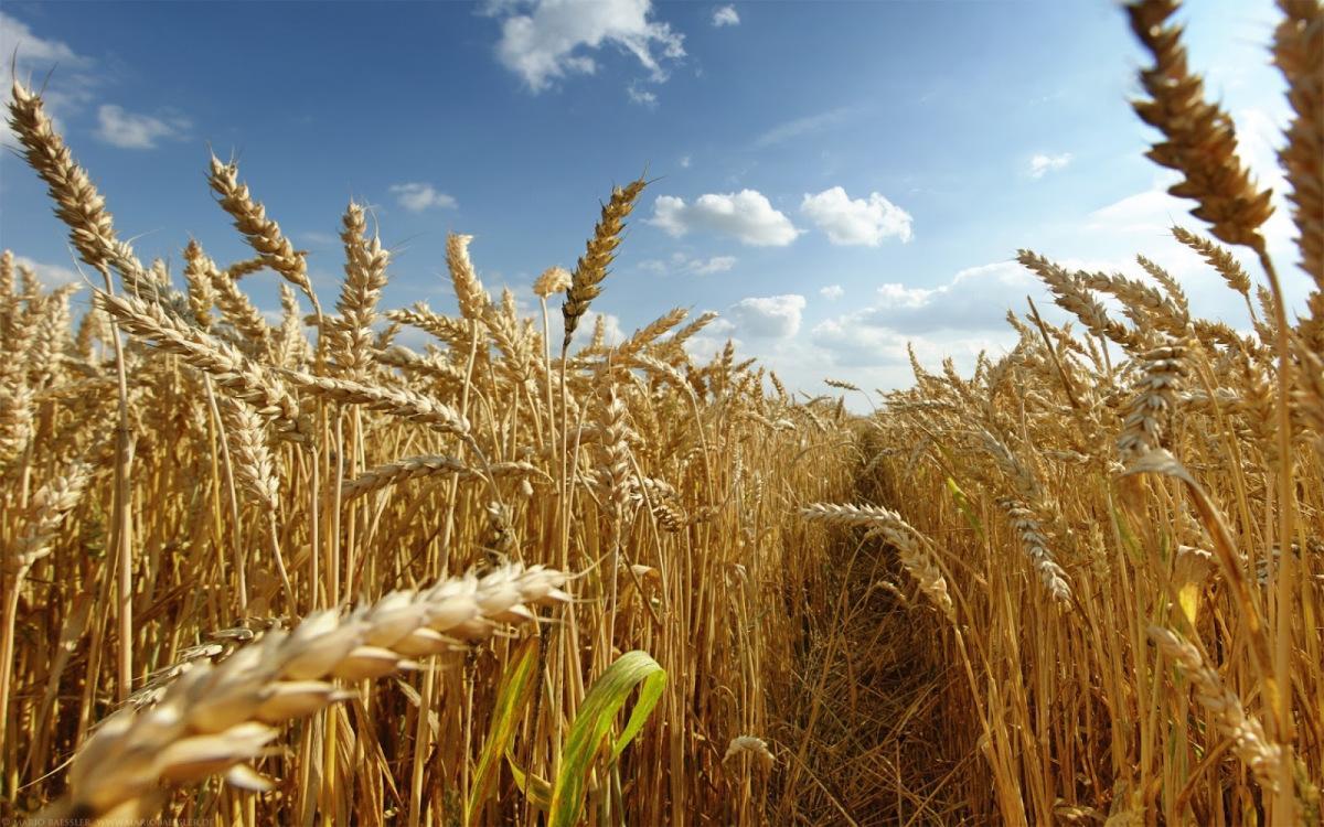Хліб в Україні подорожчає на 25% після збору рекордного врожаю пшениці