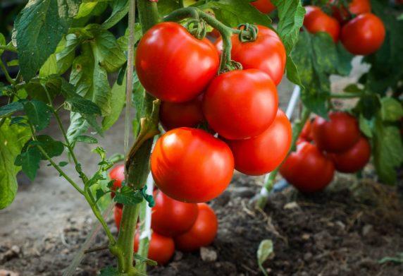 В Украине внезапно выросли цены на томаты - today.ua