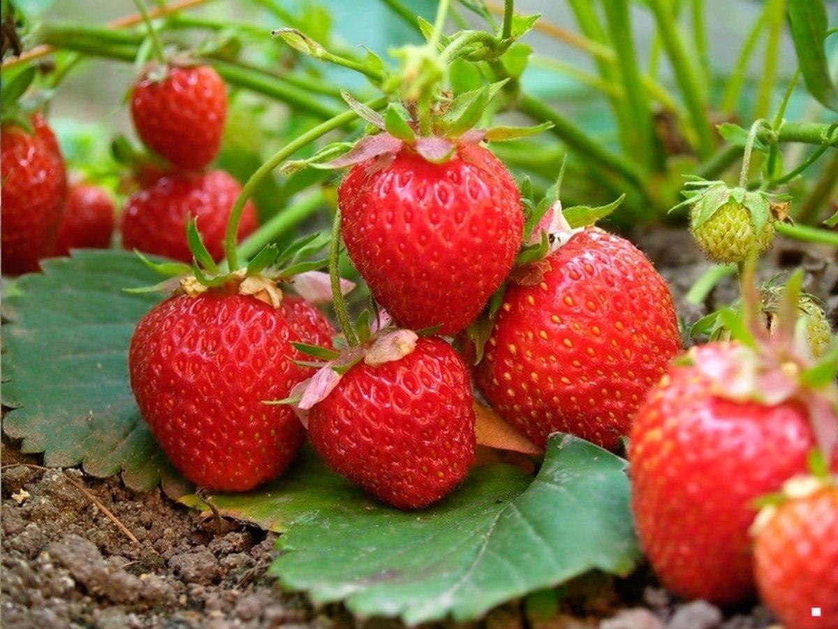 В Україні рекордно знизилися ціни на сезонні ягоди