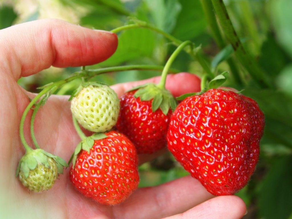 В Україні почали опускатися ціни на полуницю: на скільки подешевшає ягода до кінця сезону