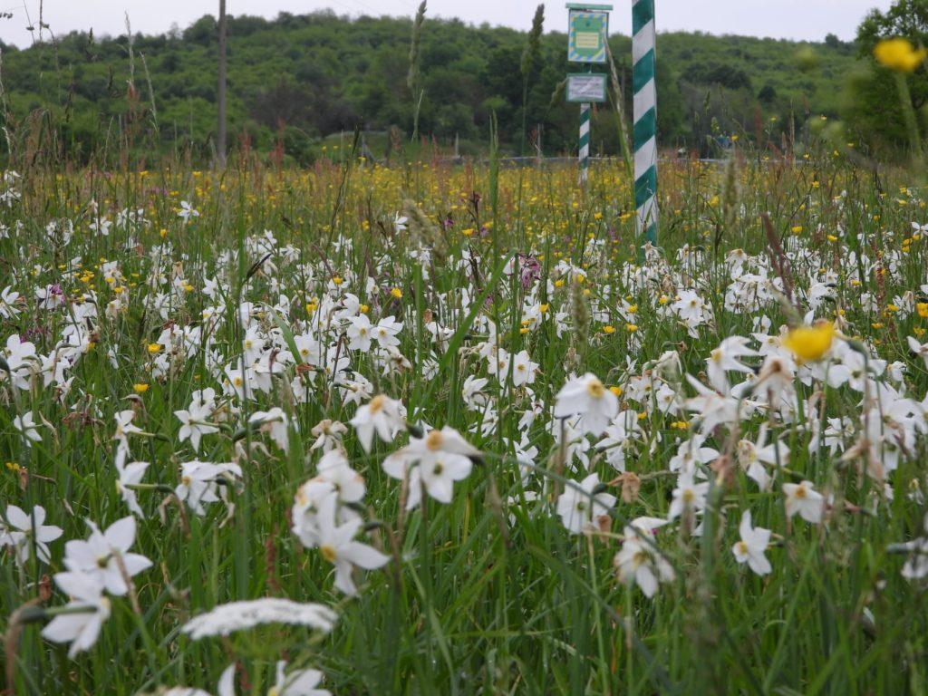 У Карпатах розцвіли рідкісні орхідеї і червонокнижні сибірські іриси - невимовне видовище (фото)