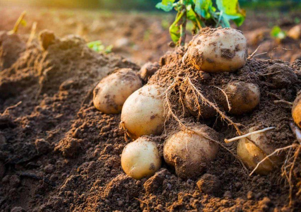 Украина рискует остаться без урожая картофеля: херсонские фермеры назвали причину