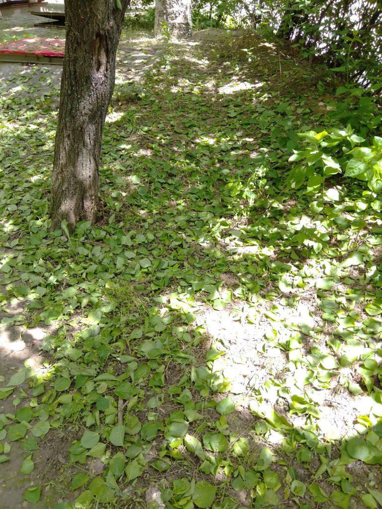 В Україні опадає листя на плодових деревах: фахівці розповіли, що буде з урожаєм