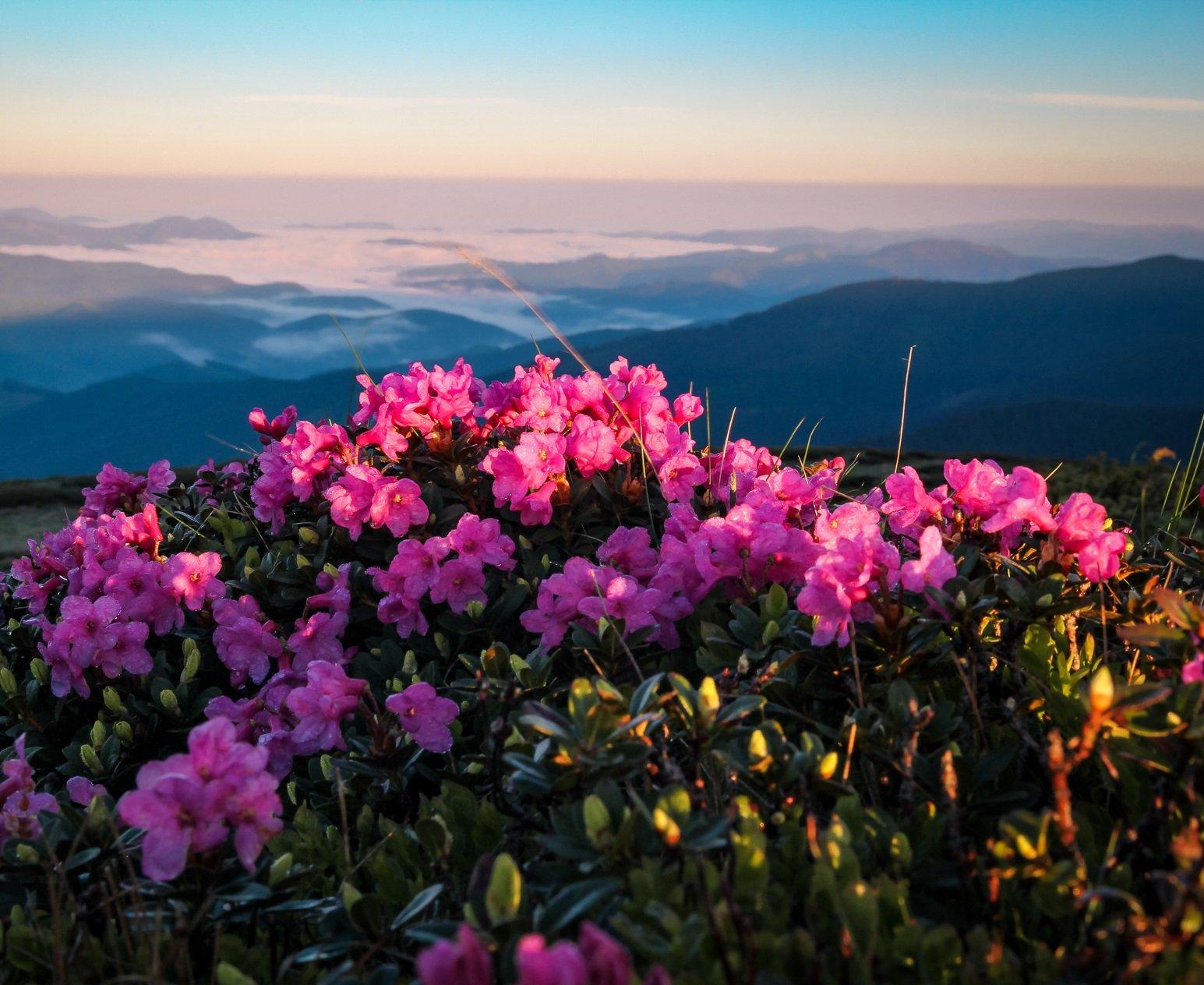 Незабутня краса: в Карпатах розцвіли рододендрони - легендарна червона рута