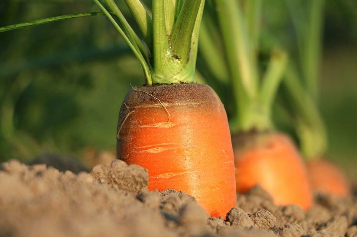 Найкорисніше підживлення для моркви і буряка в липні: коренеплоди виростуть великими і смачними
