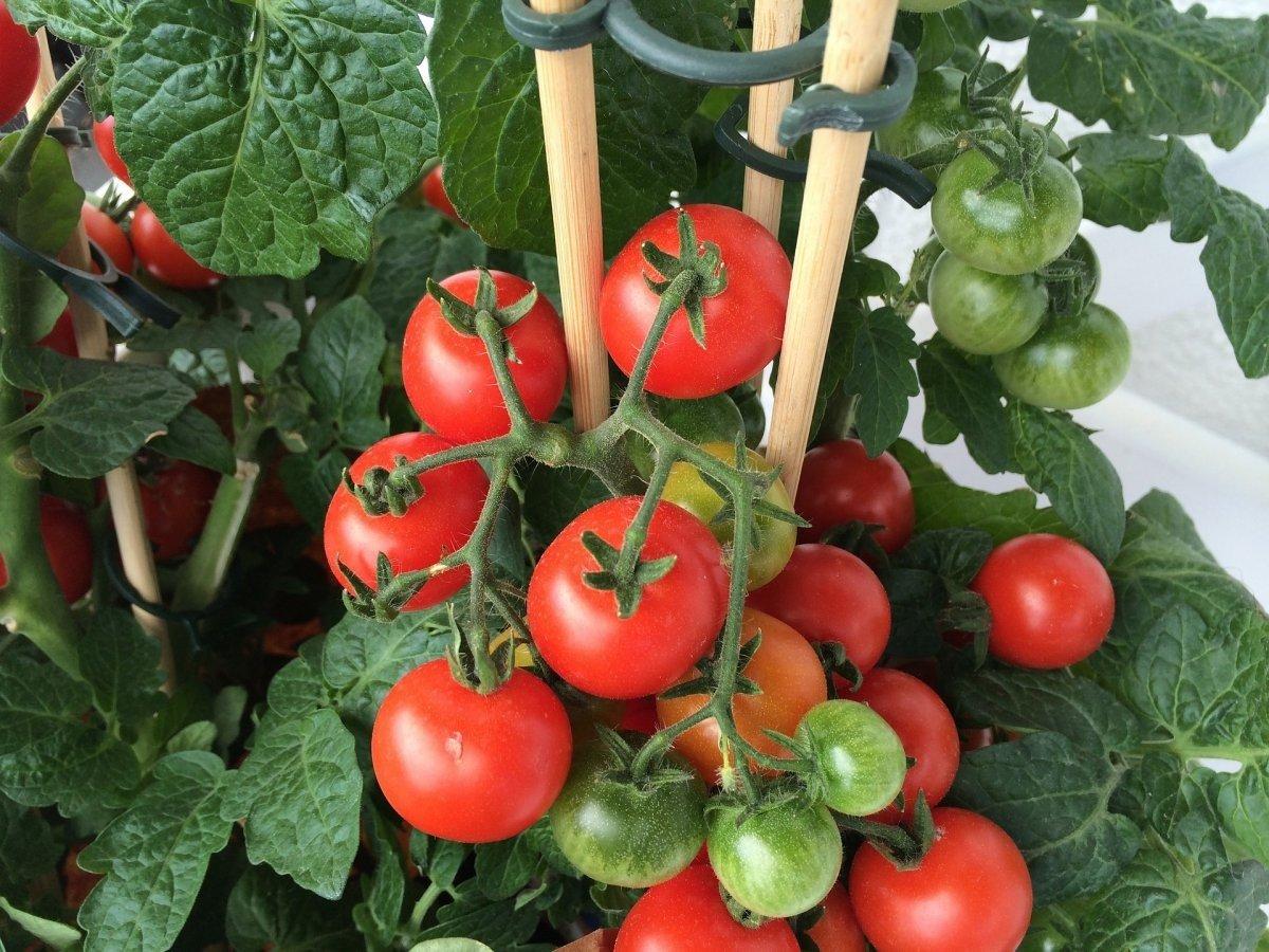 Самая эффективная подкормка для быстрого созревания помидоров: простой рецепт