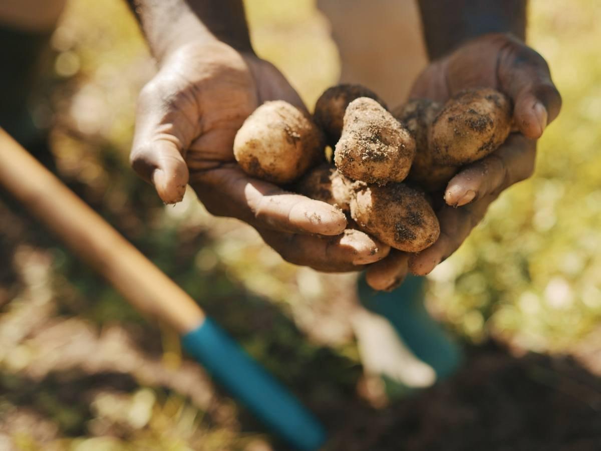 Картопля в Україні продовжує дорожчати: названа вартість овоча на ринках в кінці вересня