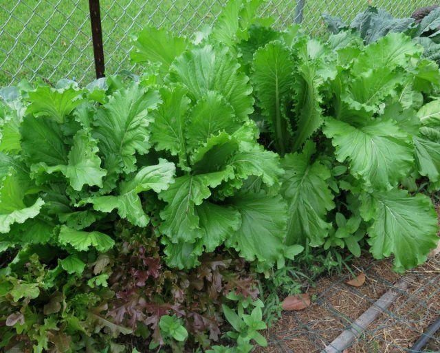 Что можно посеять на огороде в сентябре, чтобы успеть собрать урожай до холодов