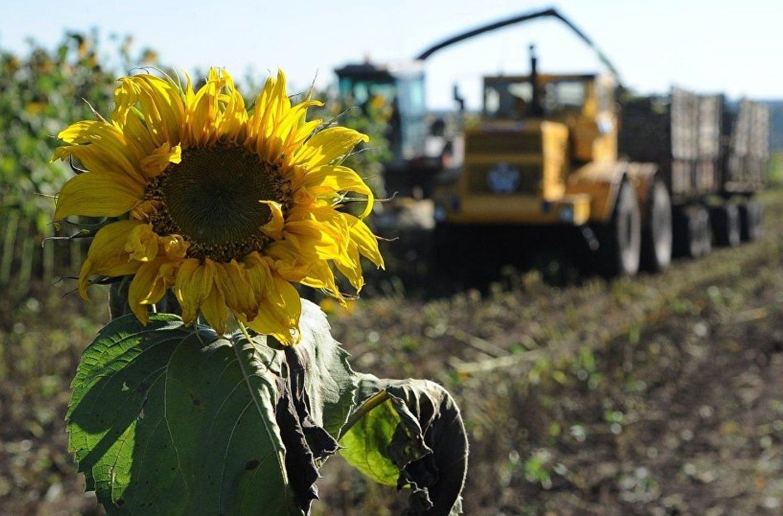 Украинцам объяснили, почему подсолнечное масло после сбора нового урожая подсолнечника подорожает