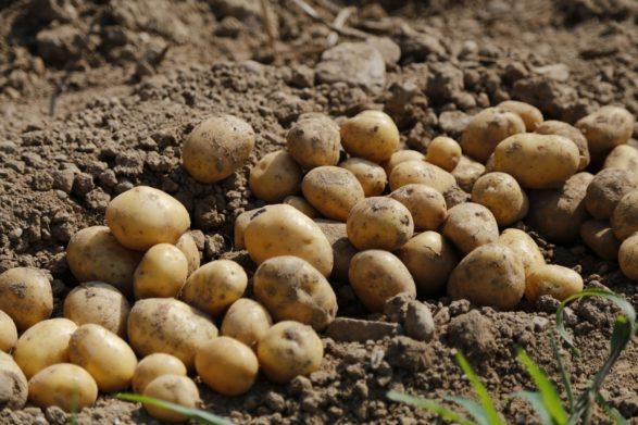 Цены на картофель в Украине продолжают расти: какие сорта выбрать на зиму - today.ua