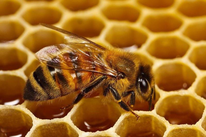 В Україні масово вимирають бджоли: ціни на мед будуть рости