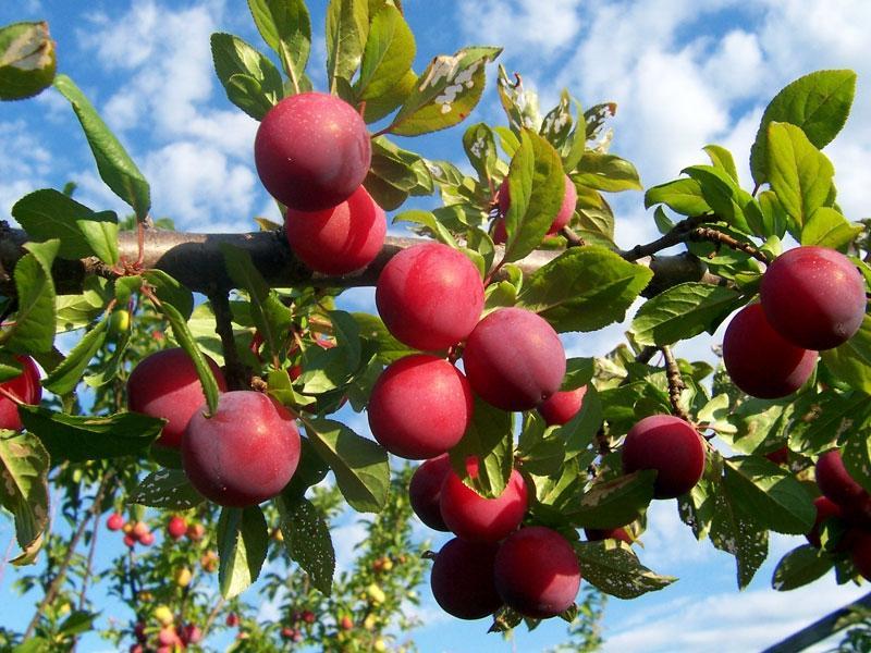 В Україні у півтора рази знизилися ціни на сливи: вартість фруктів побила 4-річний рекорд