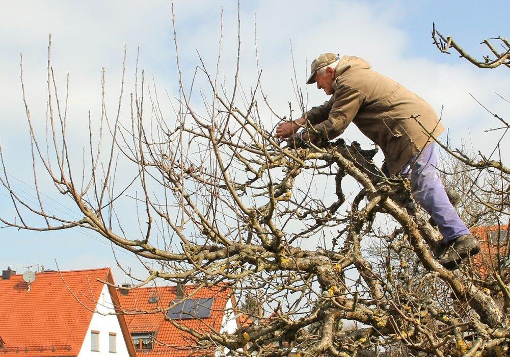 Як підготувати яблуні до холодів: поради по обрізці дерев восени