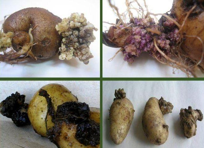 В Україні виявлено рак картоплі: такий урожай не можна давати навіть худобі