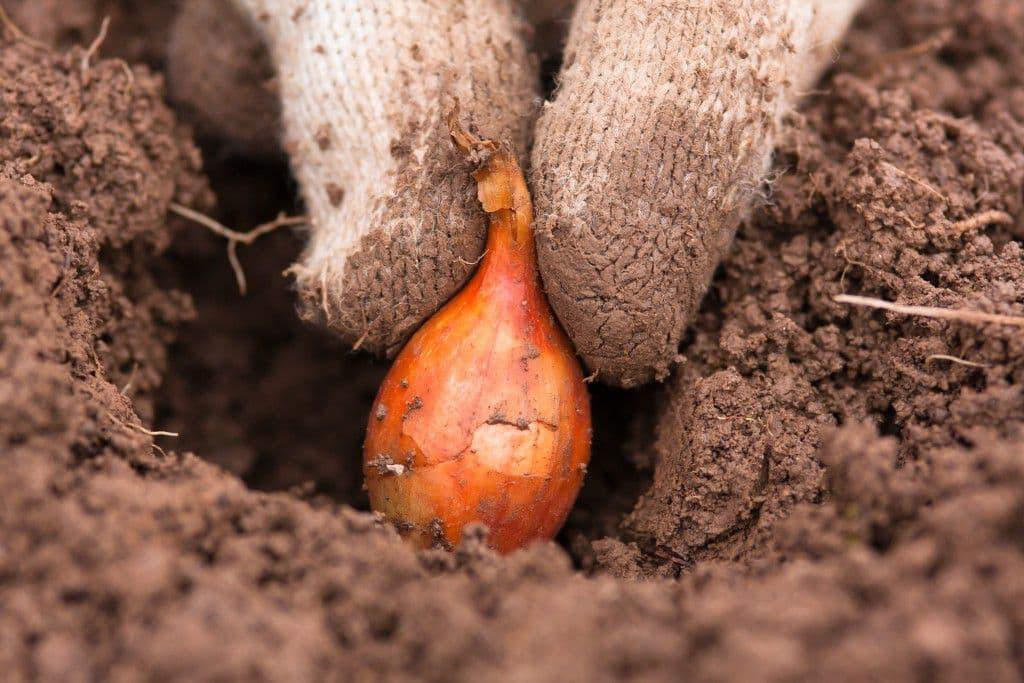 Коли і де потрібно садити цибулю на зиму, щоб навесні зібрати хороший урожай
