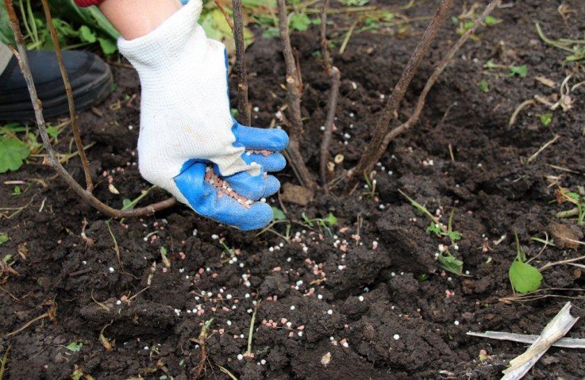 Як удобрити малину восени, щоб ягода через рік дала щедрий урожай
