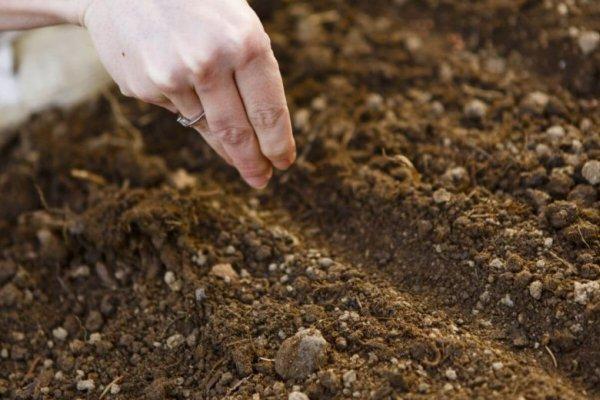 Город у жовтні: морква, буряк, цибуля, часник - що можна посадити на ділянці під зиму